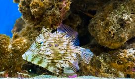 Retrato de la vida marina de un pescado espinoso o tasselled de la cuero-chaqueta un pescado tropical raro y divertido del Océano fotografía de archivo