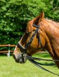 Retrato de la vista lateral de un caballo de la doma de la bahía Foto de archivo libre de regalías