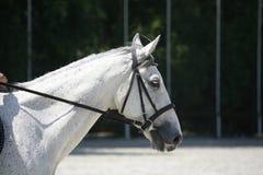 Retrato de la vista lateral de un caballo de salto de la demostración hermosa durante trabajo Foto de archivo
