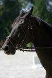 Retrato de la vista lateral de un caballo de salto de la demostración hermosa durante trabajo Foto de archivo libre de regalías