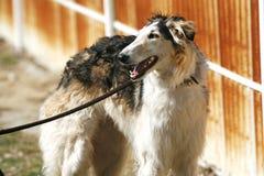 Retrato de la vista lateral de un perro ruso criado en línea pura del perro lobo Imagen de archivo libre de regalías