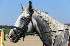 Retrato de la vista lateral del caballo gris con la melena trenzada agradable contra Fotografía de archivo libre de regalías