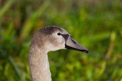 Retrato de la vista lateral del pájaro joven del olor del cygnus del cisne mudo Fotos de archivo libres de regalías