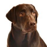 Retrato de Labrador del chocolate Imagen de archivo