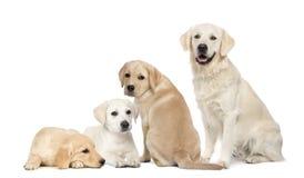 Retrato de Labradors y del perro perdiguero de oro Foto de archivo libre de regalías