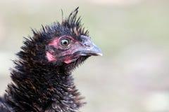 Retrato de las aves de corral negras desaliñadas imagen de archivo libre de regalías