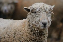 Retrato de las ovejas Fotos de archivo libres de regalías