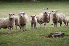 Retrato de las ovejas imagenes de archivo