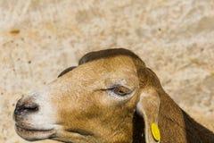 Retrato de las ovejas Imagen de archivo libre de regalías