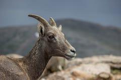 Retrato de las ovejas de carnero con grandes cuernos fotos de archivo