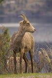 Retrato de las ovejas de carnero con grandes cuernos salvajes en resorte imagenes de archivo