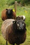 Retrato de las ovejas negras Fotografía de archivo libre de regalías