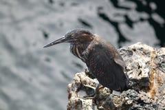 Retrato de Lava Heron (las Islas Galápagos, Ecuador) Fotos de archivo