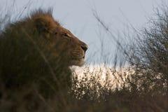 Retrato de Leo en la puesta del sol Imagenes de archivo