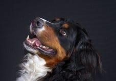 Retrato de levantamento fêmea do bover bonito do bearnesse de boyero de berna imagem de stock royalty free