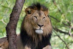 Retrato de Lion Horizontal Foto de Stock Royalty Free