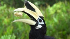 Retrato de los albirostris de varios colores orientales de Anthracoceros del Hornbill Pájaro endémico en peligro de Borneo almacen de metraje de vídeo