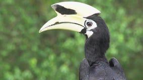 Retrato de los albirostris de varios colores orientales de Anthracoceros del Hornbill Pájaro endémico en peligro de Borneo metrajes