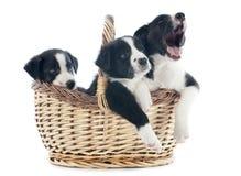 Borderes collies de los perritos Fotos de archivo