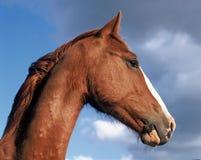 Retrato de los caballos Fotos de archivo libres de regalías