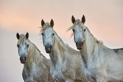 Retrato de los caballos de los tres camargue Fotografía de archivo libre de regalías