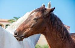 Retrato de los caballos del abarcamiento Fotos de archivo