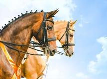 Retrato de los caballos del champán del oro de la bahía y de la perla en la competencia de la doma, el cielo azul y las nubes bla Imagenes de archivo