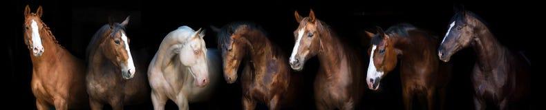 Retrato de los caballos en negro fotos de archivo libres de regalías