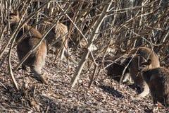Retrato de los canguros necked rojos lindos del ualabi Foto de archivo libre de regalías