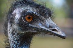 Retrato de los casuariidae de los novaehollandiae del Dromaius del emú Foto de archivo