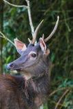 Retrato de los ciervos Foto de archivo