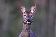 Retrato de los ciervos de huevas Imagen de archivo