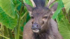 Retrato de los ciervos del Sambar almacen de metraje de vídeo