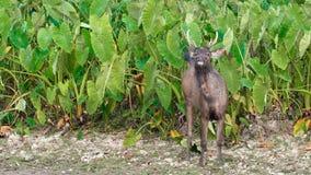 Retrato de los ciervos del Sambar metrajes