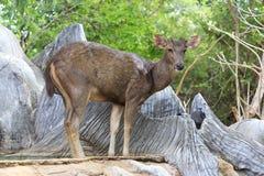 Retrato de los ciervos en barbecho Fotos de archivo libres de regalías
