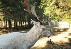 Retrato de los ciervos en barbecho blancos Fotos de archivo libres de regalías