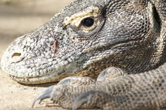 Retrato de los dragones de Komodo Foto de archivo libre de regalías