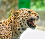 Retrato de los estampados leopardo enojados en el mundo natural fotos de archivo libres de regalías
