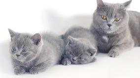 Retrato de los gatitos de británicos Shorthair, fondo blanco, aislado almacen de metraje de vídeo