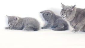 Retrato de los gatitos de británicos Shorthair, fondo blanco, aislado metrajes