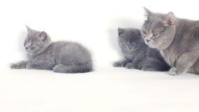 Retrato de los gatitos de británicos Shorthair, fondo blanco, aislado almacen de video