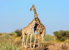 Retrato de los pares de la jirafa Fotografía de archivo