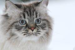 Retrato de los paseos de un gato peludos grandes en la nieve fotos de archivo