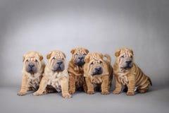 Retrato de los perritos del pei de Shar del chino Imagen de archivo