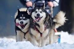retrato de los perros que corren en la nieve Fotografía de archivo
