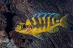 Retrato de los pescados de cichlid y de x28; Crabro& x29 de Pseudotropheus; en acuario Imágenes de archivo libres de regalías