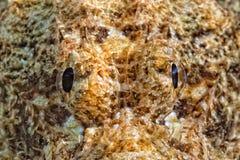 Retrato de los pescados de escorpión Fotografía de archivo libre de regalías