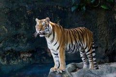 Retrato de los tigres de Amur Foto de archivo libre de regalías