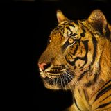 Retrato de los tigres de Amur imagenes de archivo