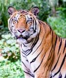 Retrato de los tigres de Amur Imagen de archivo libre de regalías